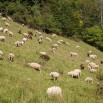 sheep-2781424__480.jpg